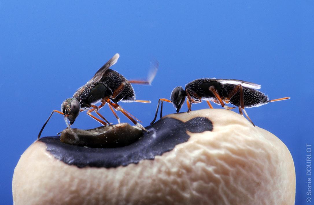 Femelles d'Eupelmus vuilleti en situation de compétition pour l'accès à un hôte