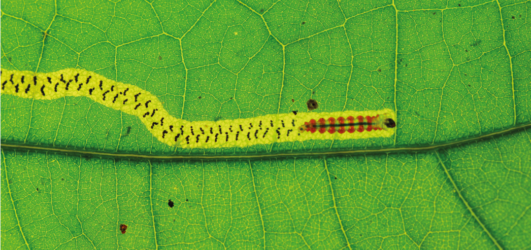Zig-zag leafminer from French Guiana - © A. Guiguet/IRBI – CNRS/Université de Tours
