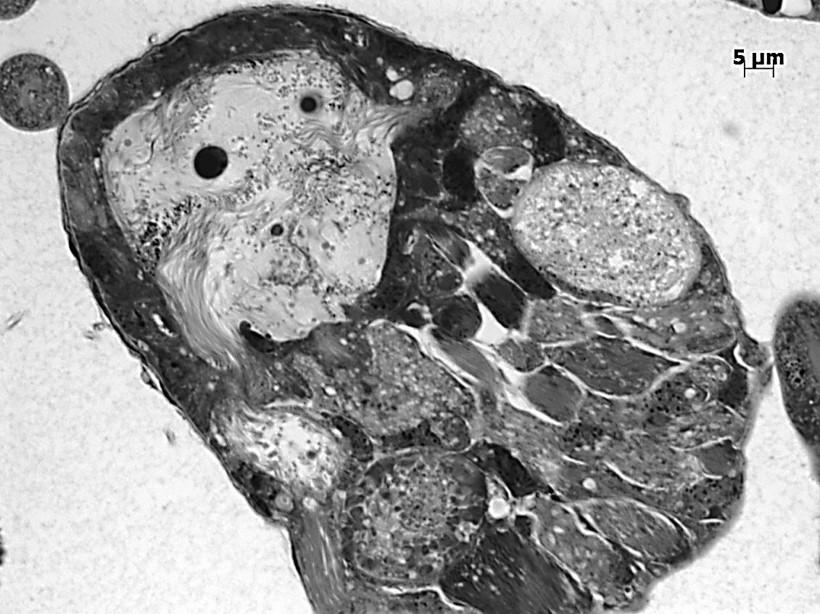 histologie du testicule